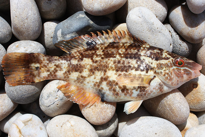 chesil-cove-baillons-wrasse-varient_zps0102bab3